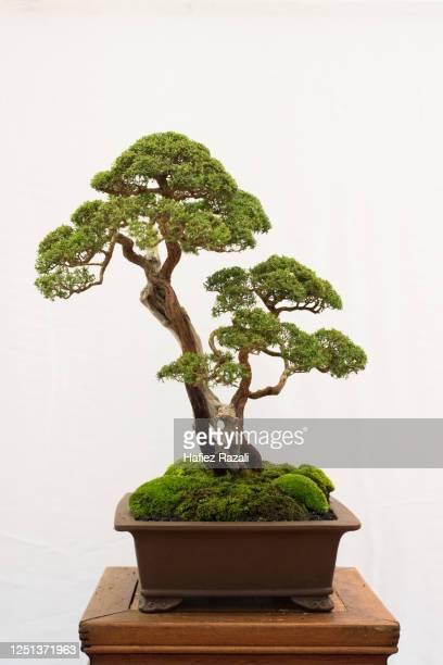 bonsai tree isolated on white background - 盆栽 ストックフォトと画像