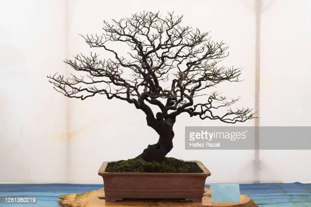 bonsai tree isolated on white background - kahler baum stock-fotos und bilder