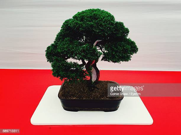 bonsai tree on red table - conor stock pictures, royalty-free photos & images
