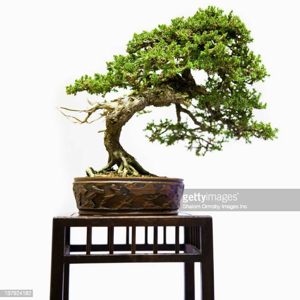bonsai tree on table - bonsai tree stock pictures, royalty-free photos & images