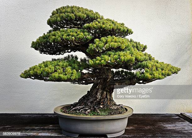 Bonsai tree stock photos and pictures getty images bonsai tree on table mightylinksfo