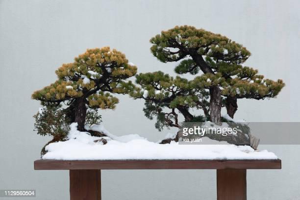 bonsai tree - yangzhou foto e immagini stock