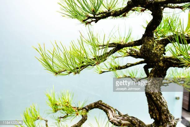 bonsai tree - イリノイ州 ハイランドパーク ストックフォトと画像