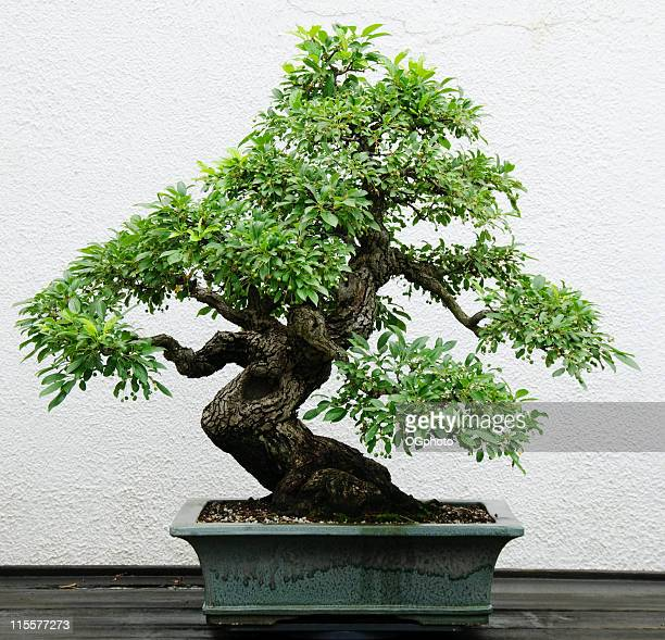bonsái - ogphoto fotografías e imágenes de stock