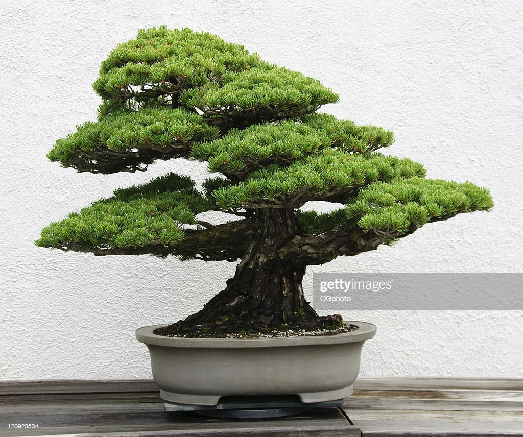 Bonsai Tree Stock Photos And Pictures Getty Images