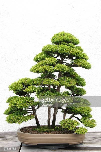 bonsai tree - ogphoto stock pictures, royalty-free photos & images