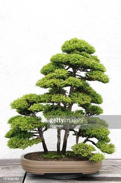 bonsai tree - ogphoto stock-fotos und bilder