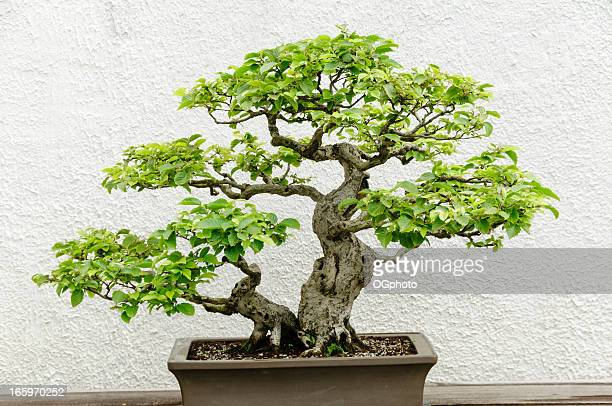 bonsai - ogphoto foto e immagini stock