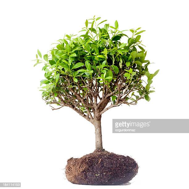 bonsai tree - bonsai tree stock pictures, royalty-free photos & images