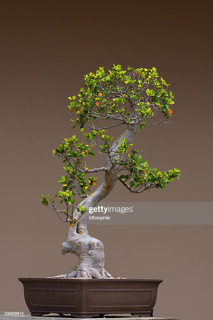 bonsai tree : Stock-Foto