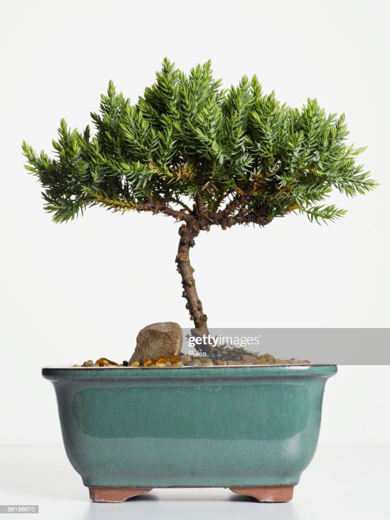 Bonsai tree. : ストックフォト