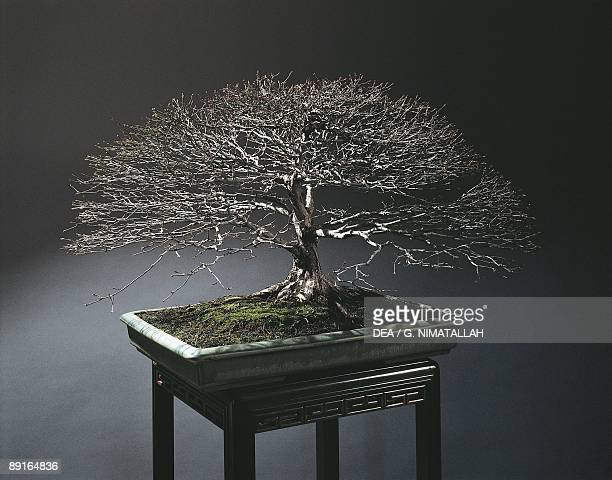 Bonsai tree studio shot