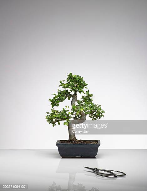 bonsai tree with pruning scissors - bonsai tree stock pictures, royalty-free photos & images