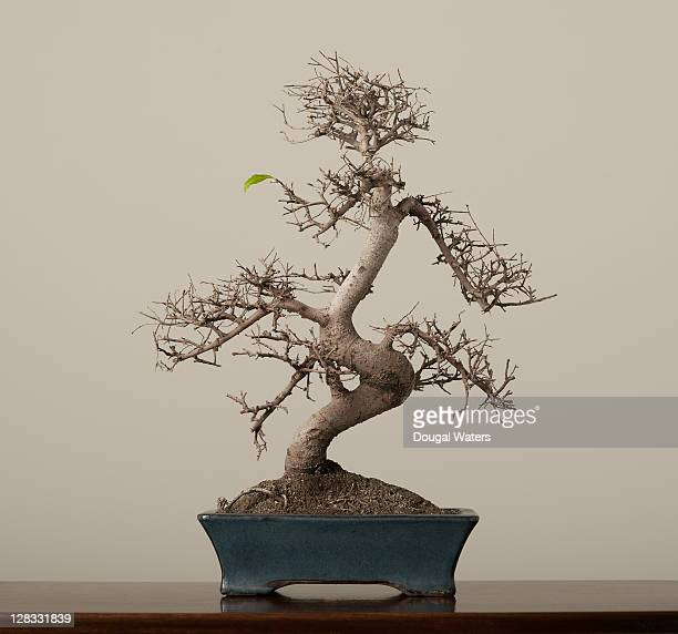Bonsai tree with single green leaf.