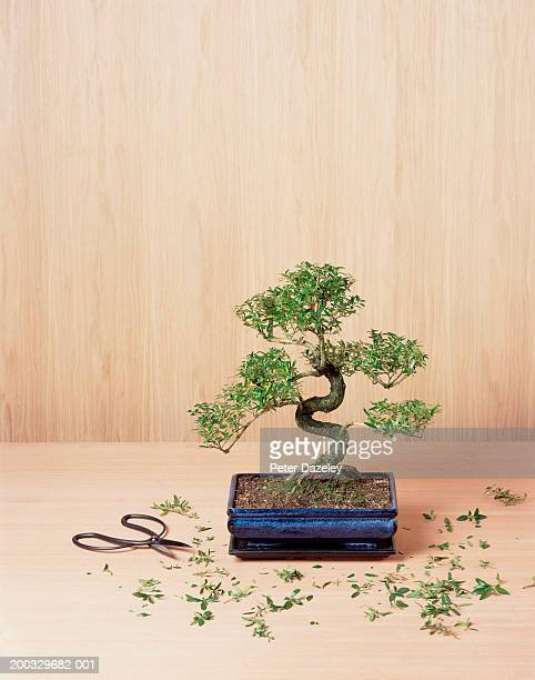 Bonsai tree with trimmings and clippers