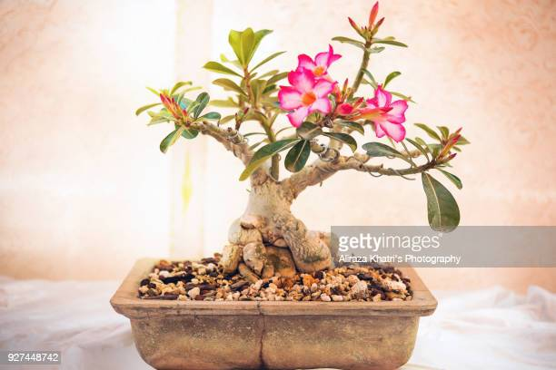 Bonsai Trees abstract backgrounds