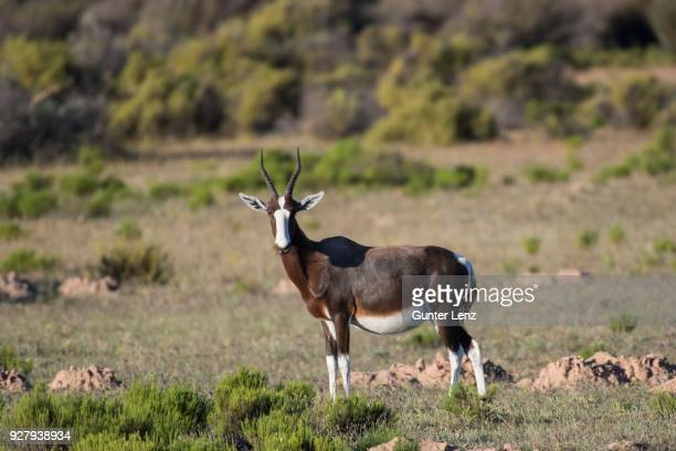 Bontebok (Damaliscus pygargus), Bushmans Kloof Wilderness Reserve, Private Game Reserve, Bushmans Kloof Wilderness Reserve, Private Game Reserve, Western Cape, South Africa