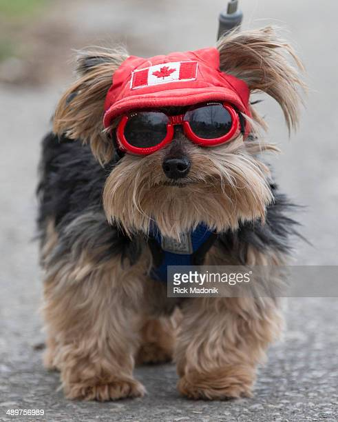 TORONTO MAY 9 Booboo a 15yearold Yorkshire Terrier sports Doggles to ward off eye infections as he goes for a walk with his owner in Lambton Woods...