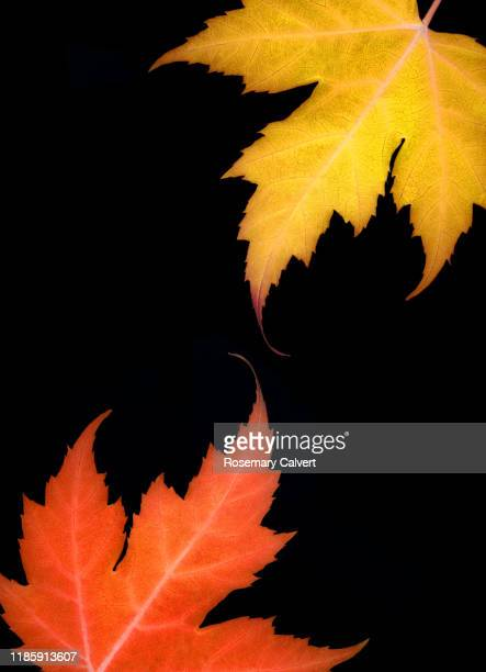 part yellow orange autumnal maple leaves