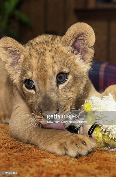 Boomerang the lion cub plays with a Christmas toy at Noah's Lost Ark in Berlin Center Ohio He was dumped at the sanctuary by a New York Post reporter...