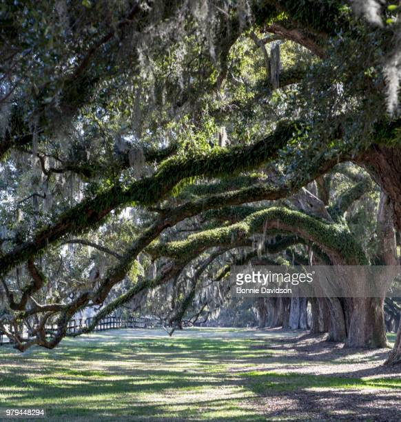 boone hall plantation oaks - boone hall plantation stock pictures, royalty-free photos & images