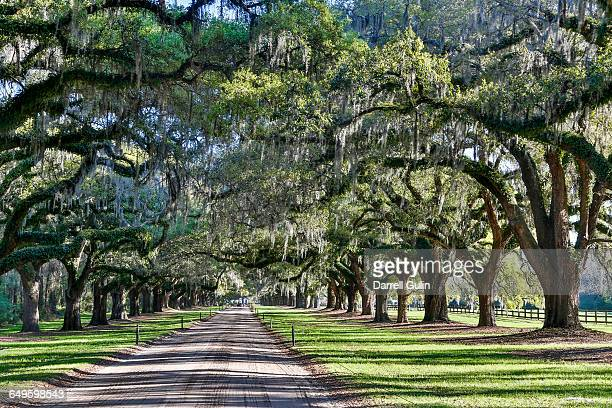 boone plantation oak trees over roadway - boone hall plantation stock pictures, royalty-free photos & images