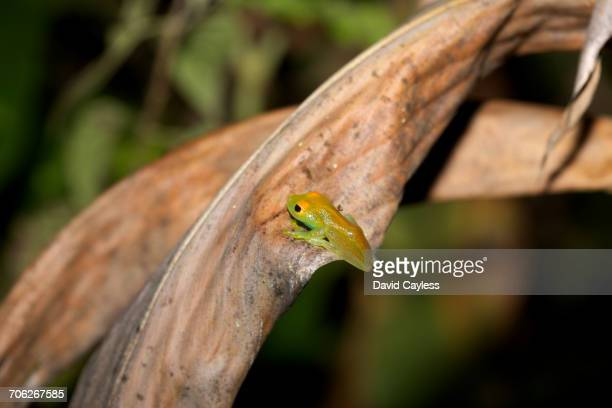 Boophis luteus