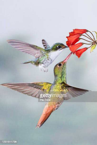 booted tacketail and rufous-tailed hummingbirds feeding on flower - braunschwanzamazilie stock-fotos und bilder