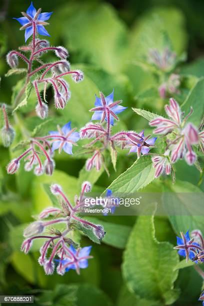 Borage, Borago officinalis, flowers