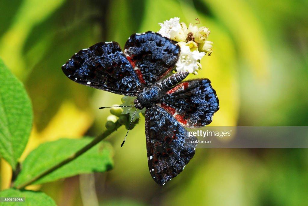 Borboleta (Lepidoptera) | Butterfly : Stock Photo