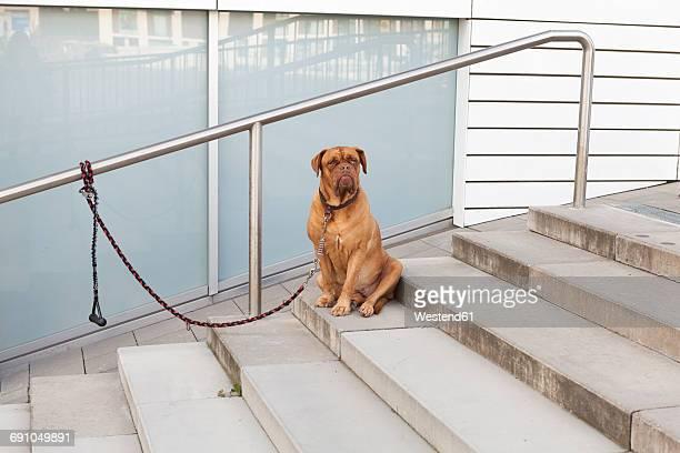 Bordeaux Mastiff sitting on stairs