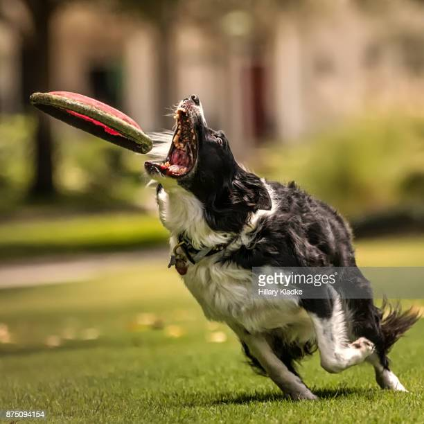 Border Collie about to catch a frisbee