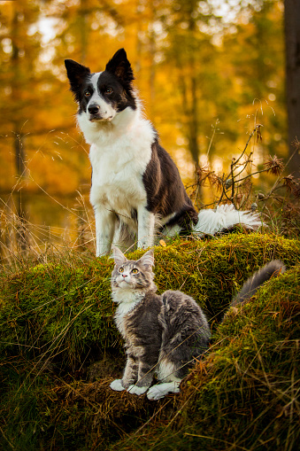A border collie and a maine coon sitting on grass. - gettyimageskorea