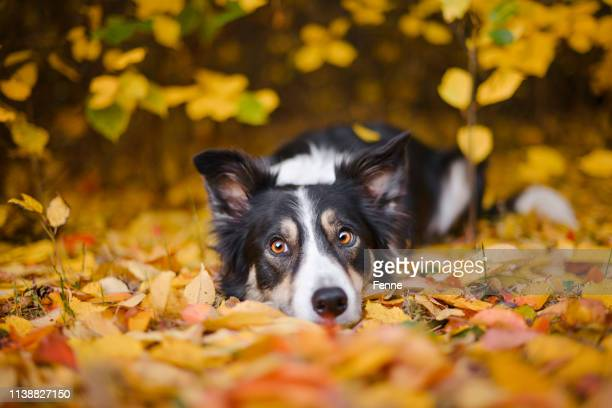 border collie and autumn colors - autumn stock pictures, royalty-free photos & images