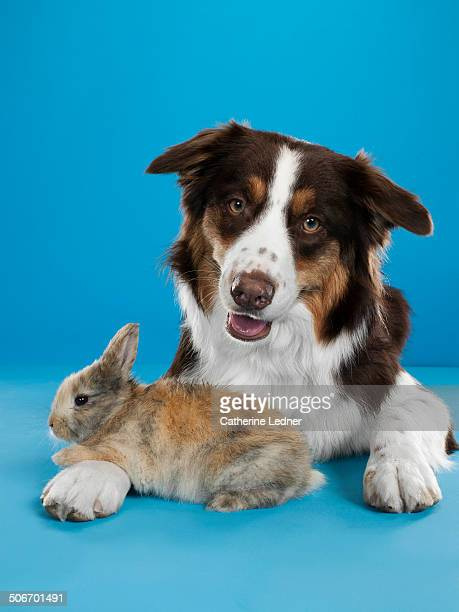 border collie and rabbit friends - rabbit stock pictures, royalty-free photos & images