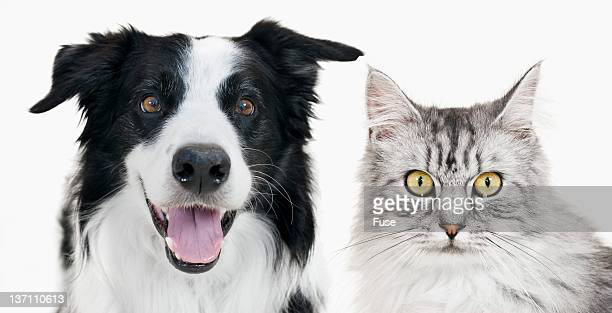 Border collie and tabby cat