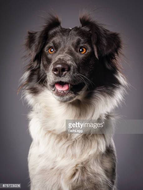 Border Collie Blue Heeler Mix Dog