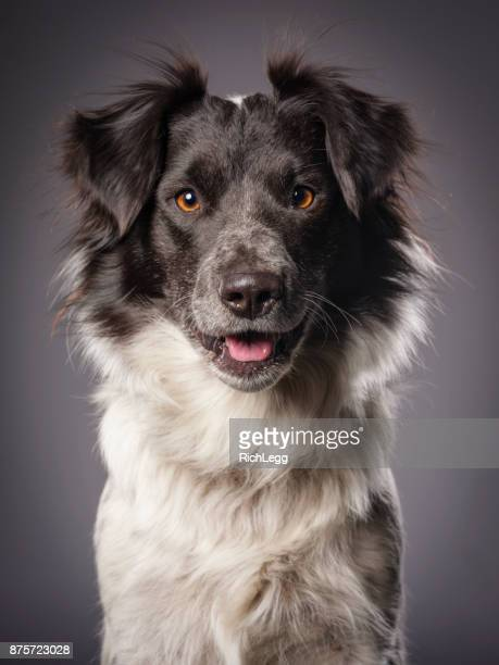 Border Collie Blue Heeler Mix Dog