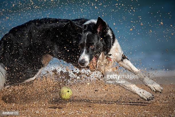 Border Collie chasing after ball on beach