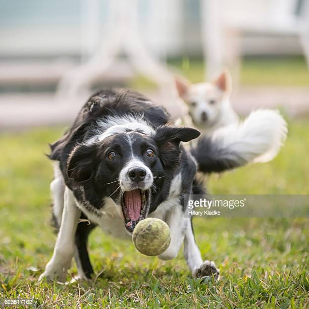 Border Collie chasing after ball