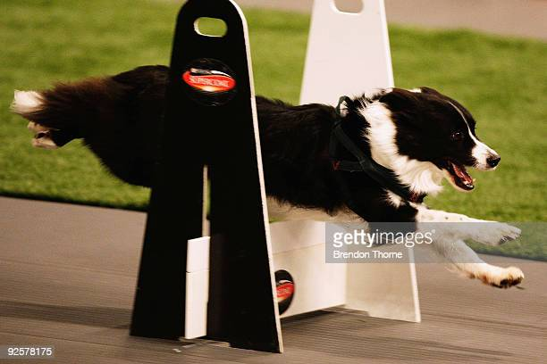Border Collie competes in the Flyball during The World Dog Games at Acer Arena on October 31 2009 in Sydney Australia