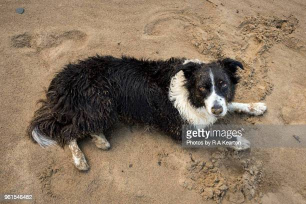Border Collie covered in sand on a beach