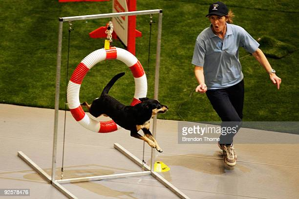 Border Collie cross Australian Kelpie competes in the Agility event during The World Dog Games at Acer Arena on October 31 2009 in Sydney Australia