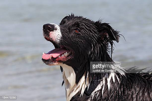 Border Collie cross-breed, wet from swimming in water, portrait