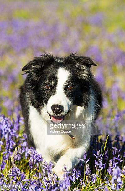 A Border Collie dog amongst Bluebells above Austwick, Yorkshire Dales, UK.