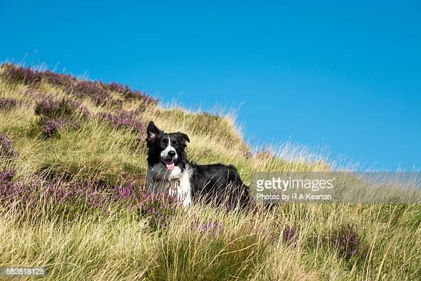 Border Collie dog enjoying a sunny day outdoors