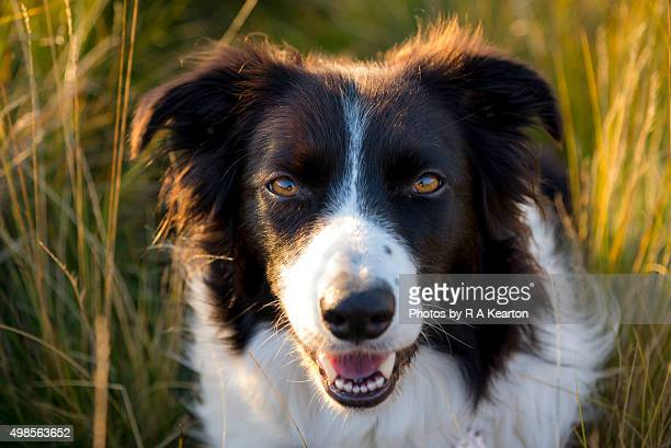 Border Collie dog facing camera with highlights of golden sunlight on her fur.