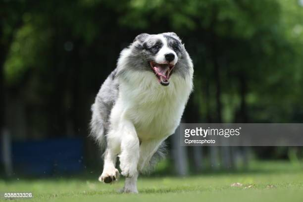 Border collie dog in China