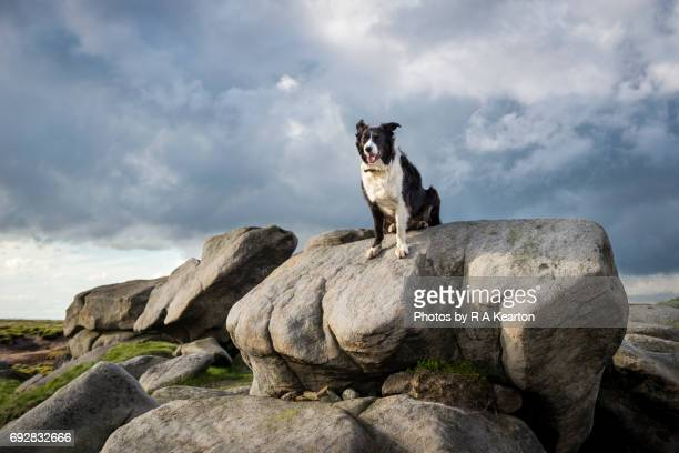 Border Collie dog in the great outdoors, Bleaklow, Derbyshire, England