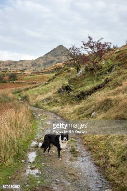 Border Collie dog in the mountains of Snowdonia, Wales